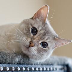 cat groomer service in Wigan